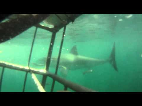 GREAT WHITE SHARK DIVE.