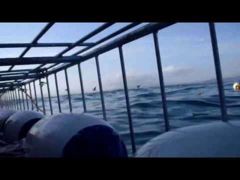 Great White Shark Diving @ South Africa