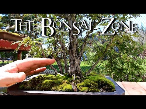 Re potting My Cedar Clump Bonsai and My Guava Tree, The Bonsai Zone, May 2018