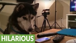 Husky extremely fascinated by Siri