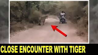 Bikers Encounter with 2 Tigers NARROWEST ESCAPE