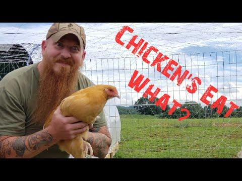 Chicken's eat what?!