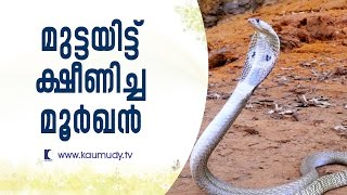 A female Cobra that is tired of laying eggs | Snake Master EP #240 | Kaumudy TV