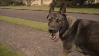 How fast can a German Shepherd Run?
