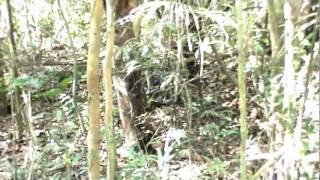 inhambu-guaçu - casal passeando (de frente com a lente)