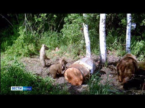 В Коми продолжается охота на медведей. На Ямале приступили к подсчету животных