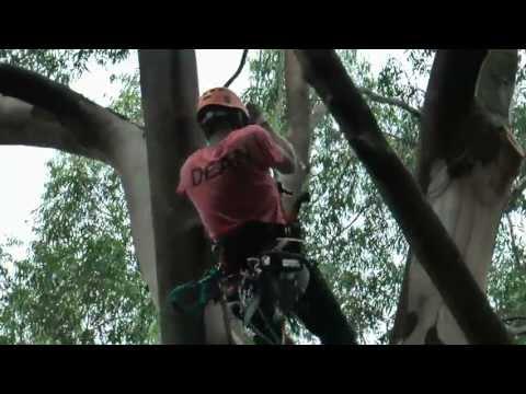 Bekaru Tree – 2 25m gum deadwood pruning and rigging