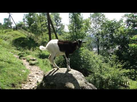 Sony DSC-HX1 Movie Test: Goats in Carpathian Mountains, Ukraine
