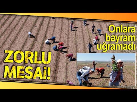 Mevsimlik İşçilerin Gurbet Mesaisi Bayramda da Sürüyor