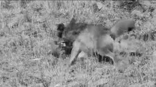Menyeramkan !! Duel Serigala vs Singa