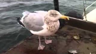 Hungry Seagull