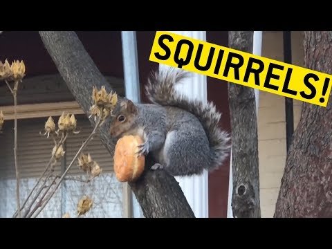 Clipuri haioase cu veverite