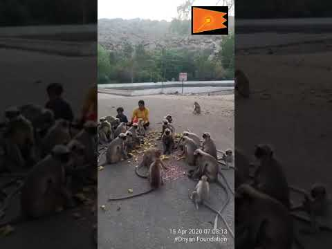 Monkey feeding in north karntaka