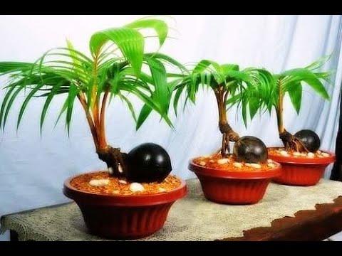 Download Thumbnail For Cara Membuat Bonsai Kelapa Dari Awal Youtube