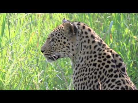 Seeing a Leopard on morning game drive (2 of 6) – spinning around the world