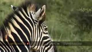 Zebra stallion scents mare in oestrus