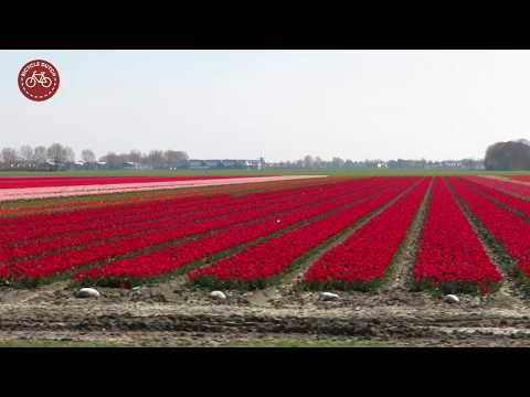 Cycling to the tulips photo