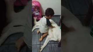 Criança brincando com cachorro grande sem medo (Akyra é um amor)