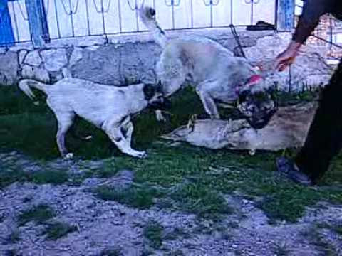 kangal jr panzer kurt boğma. wolf die . KANGAL DOG ANATOLİAN dog . KİNG PANZER . turkish dog