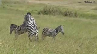 Attempted Zebra Matting Video in Serengeti National Park, Tanzania width=
