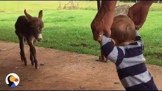 Baby Donkey Meets Baby Boy   The Dodo