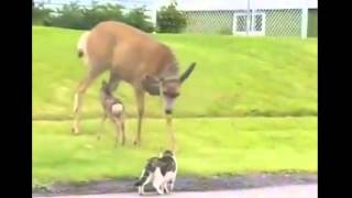 Mother Deer protect his baby against a Dog and a Cat