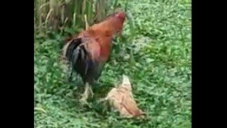 galinha finge de morta, para ficar livre do galo