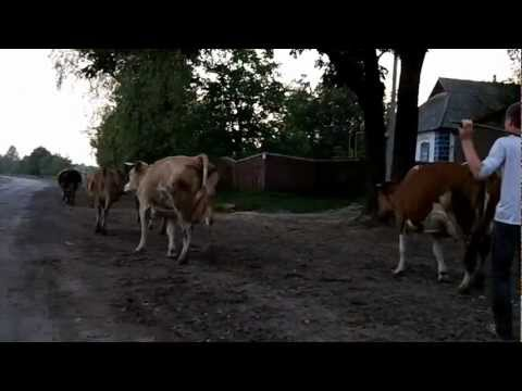 Cows on the freeway Ukraine