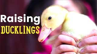 Raising Ducklings - The clean and easy setup to raise ducklings in the brooder