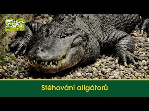 Stěhování aligátorů