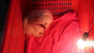 [FOR SELL] Fairy Tale of Love, Female Mini Pomeranian, White