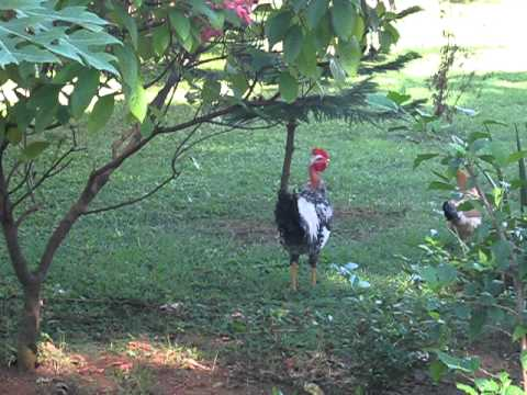 Roosters and Chickens at Emma's Guest Cottage, Reparto San Juan, Granada, Nicaragua