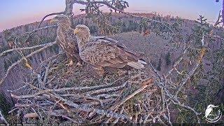 LDF Jūras ērglis tiešraide / White-tailed eagle webcam in Latvia