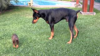 Precious puppy challenges larger Doberman dog