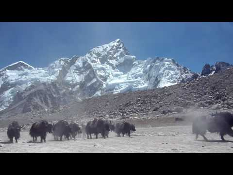 Sunstone Adventures – Yaks on the way to Everest Base Camp