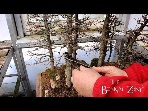 My Larch Bonsai Forest, Part 2, The Bonsai Zone, April 2018