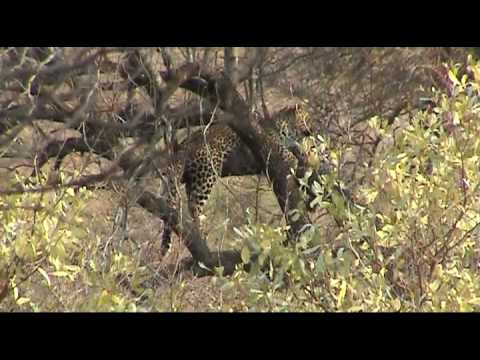 Leopard Sightings – Kruger & Thornybush, South Africa