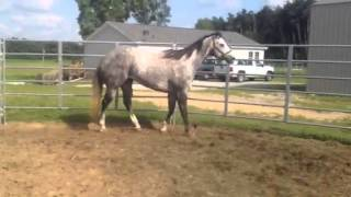 AQHA mare in foal for sale