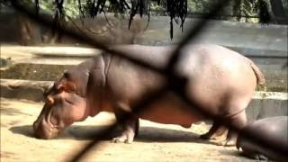 Cute hippopotamus Video, baby hippopotamus