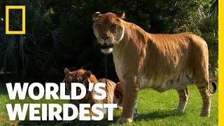Lions, Tigers and Ligers! | World's Weirdest