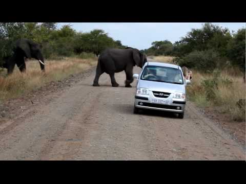 Kruger national Park, Elefants behind a car.mov