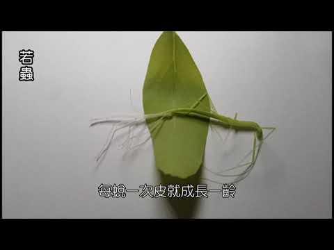 竹節蟲的一生 - YouTube