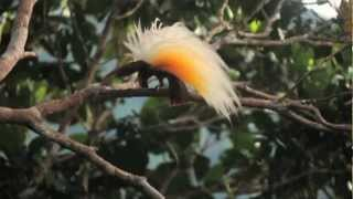 National Geographic Reveals the Birds of Paradise