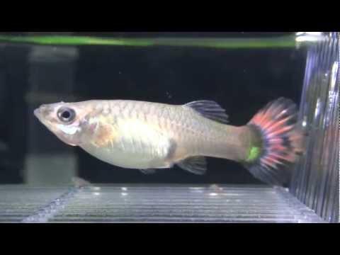 孔雀魚生產 - YouTube