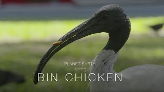 Planet Earth : Bin Chicken (4K)