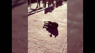 Perrito Bailando Shaky Shaky (Remix) 2016