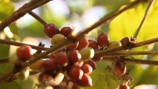 Combate frontal a la roya del café en Chiapas anuncian SAGARPA y SECAM