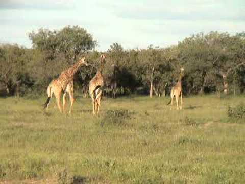 Giraffes Phalaborwa