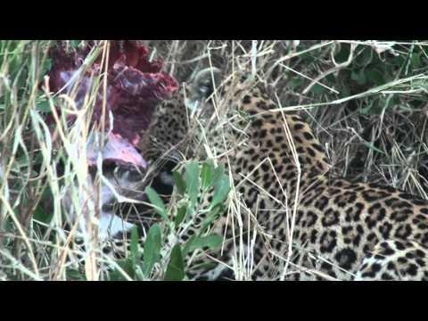 Leopardos se alimentando
