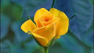 Las ROSAS de la FELICIDAD ( Significado de las Rosas amarillas)